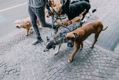 An image of student walking  dogs as a creative way to pay for college
