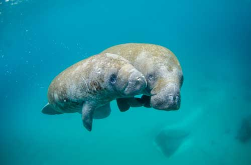 Mother manatee and calf swimming out of the inlet.